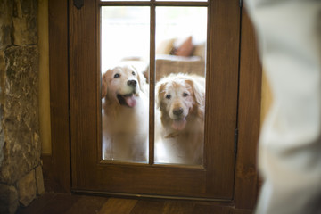 Two Labrador retrievers waiting outside door
