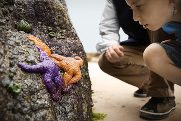 Young girl and a man on a beach bend over to look at colourful starfish on the side of a rock.