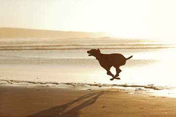 Dog running along the beach