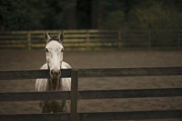 Portrait of a white horse in a fenced paddock.