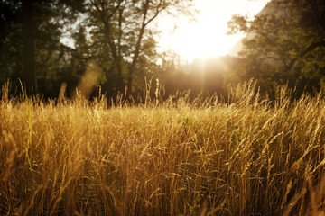 Beautiful view of golden grass in sunlight.