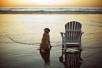 Labrador sitting next to a chair on a beach at low tide.