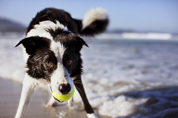 Dog holding a tennis ball in its mouth.