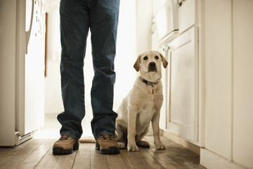 Labrador sitting by his master in the kitchen.
