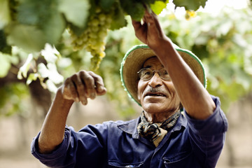 Mature man picking grapes in vineyard.