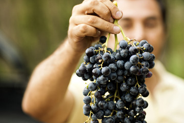 Person holding a bunch of ripe grapes.