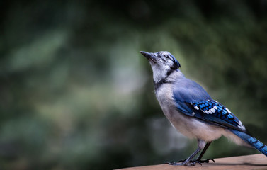 bluejay sitting on the railing of a cottage deck