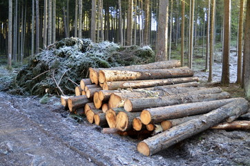 cut timber wood in the forest