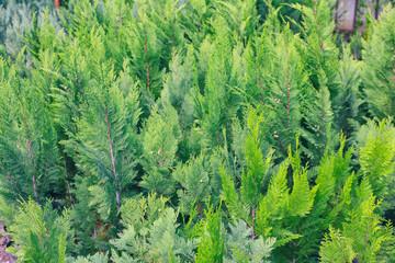 Close up view of juniper bushes in greenhouse
