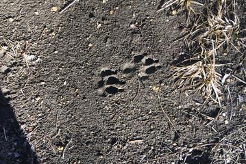Dog Tracks in Mud