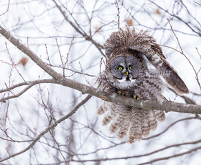 The great grey owl or great gray is a very large bird, documented as the world's largest species of owl by length. Here it is seen perched in a tree watching for prey in Quebecs harsh winter.