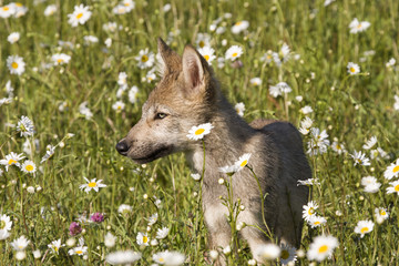 Wolf Puppy Portrait in Wildflowers