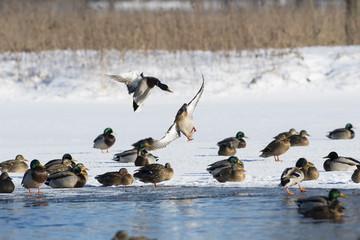 Wall Mural - Mallard Ducks in flight in the winter