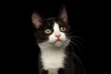 Close-up portrait of Black with white kitty dreams looking up isolated background, front view