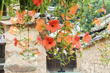 Chinese trumpet creeper is a classic beauty