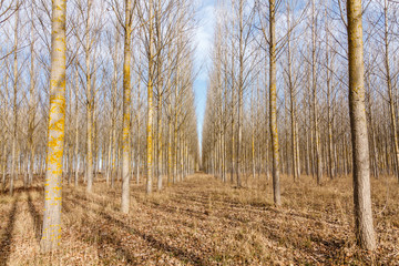 Bosque de Chopos canadienses. Populus canadensis.