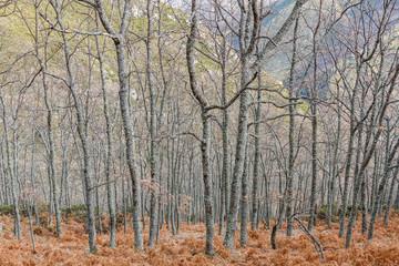 Bosque de robles y helechos en invierno. Ruta de los canales romanos del Oza. El Bierzo, León, España.