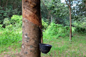 Row of para rubber tree in plantation