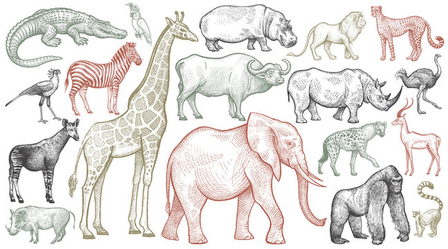 Engraving of African animals.