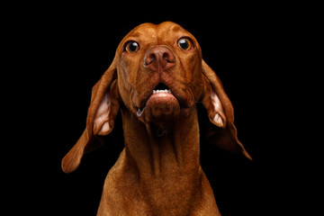 Close-up Portrait of Surprised Hungarian Vizsla Dog with Big Eyes Amazement looking in camera on isolated black background, front view