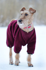 Dog the Irish terrier to the not walk