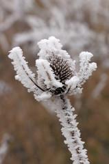Pianta di cardo in inverno