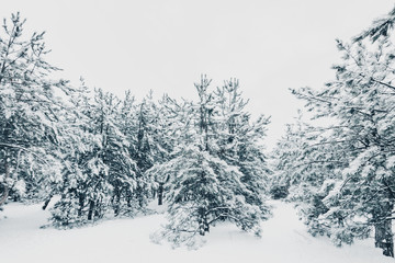 snow forest, snow