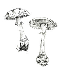 Amanita sketch ink, poisonous mushrooms, vintage style botanical illustration, monochrome black line drawn