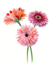 Bouquet gerberas. Watercolor sketch. Isolated on white background