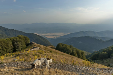 Mountain landscape with mullein or Verbascum flower,and sheep-dog at Central Balkan mountain, Beklemeto or Trojan pass, Stara Planiana, Bulgaria
