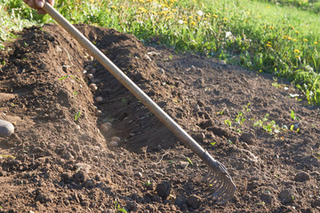 View of burying of young potatoes by hand into the ground with a rake in garden