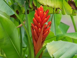 Closeup red flower of Scarlet banana, red-flowering banana (Musa coccinea) in the garden