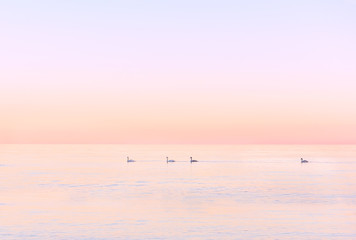 pink quiet expanse of the sea at sunset (sunrise) and swans swim