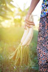 White radish in woman hand at farm