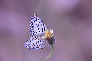 Mating of butterfles