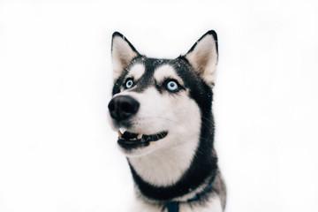 Husky dog on a white background winter. Portrait of Husky dog