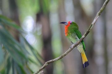 Red bearded Bee eater(Nyctyomis amictus Temmick), beautiful bird on branch, female.