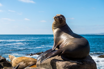 California SeaLion