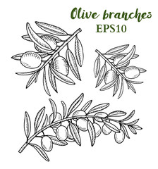 Olive tree branches hand drawn sketch