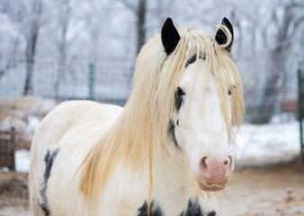 White gypsy horse