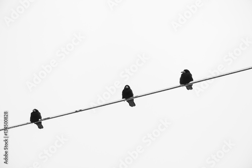 Electric Wire Black And White : Quot crow on an electric wire black and white stockfotos und