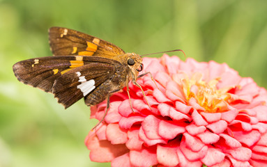 Silver-spotted Skipper butterfly feeding on a pink Zinnia in sunny summer garden