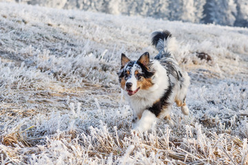 Australian Shepherd puppy in winter