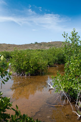Mangrove reflection with blue summer sky
