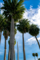 Tall Tropical Palm Trees