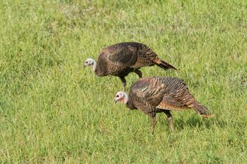 Wild turkeys foraging on a sunny grass field on a fall morning