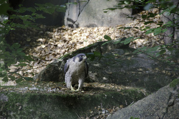 one beutiful peregrine falcon standing at the ground and looking