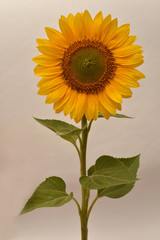 Flower of sunflower on white background. Seeds and oil. Flat lay