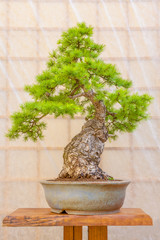 Green bonsai tree in a ceramic pot