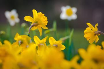 Fototapete - Frohe Ostern! Gelbe Osterglocken und weiße Narzissen vor dunklem Hintergrund, Frühlingsgarten, Gartenkalender